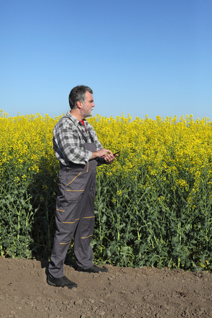 canola plant: Agronomist or farmer examine blooming canola field, rapeseed plant, using tablet Stock Photo