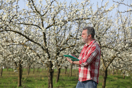to examine: Agronomist or farmer examine blooming plum trees in orchard Stock Photo