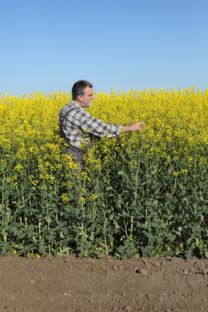 oil rape: Agronomist or farmer examine blooming canola plant field, oil seed rape