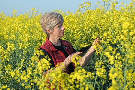 to examine: Agronomist or farmer examine blooming canola field, rapeseed plant, using tablet Stock Photo