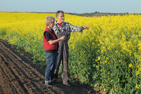 agronomist: Farmer and agronomist examine blossoming rapeseed field using tablet