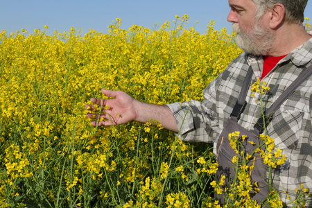 examine: Agronomist or farmer examine blooming canola plant field, oil seed rape