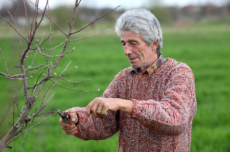 senior adult man: Senior adult man pruning tree in orchard selective focus on face Stock Photo