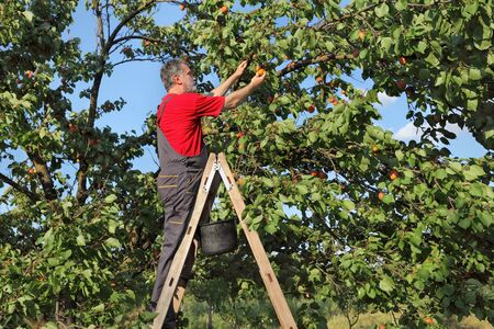 tree fruit: Mid adult farmer at ladder picking apricot fruit from tree in orchard Stock Photo