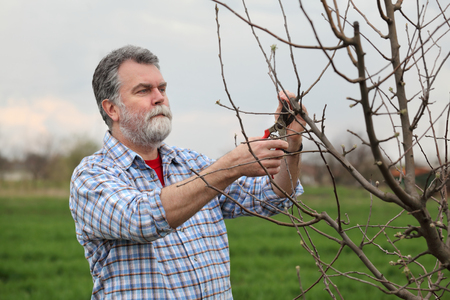 ciruela pasa: Mid adult man pruning tree in orchard selective focus on face Foto de archivo