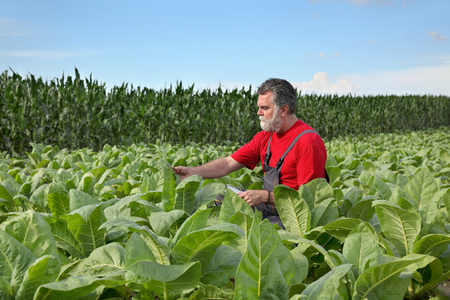 agronomist: Farmer or agronomist examine tobacco plant  field using tablet Stock Photo