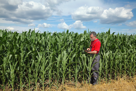 agronomist: Farmer or agronomist examine corn plant  field using tablet