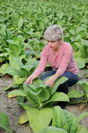 tobacco plant: Farmer or agronomist examine tobacco plant  field