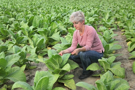 agronomist: Farmer or agronomist examine tobacco plant  field