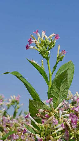 tobacco plants: Blossoming tobacco plants in field over blue sky