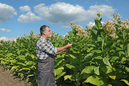 agronomist: Farmer or agronomist examine blossoming tobacco plant in field