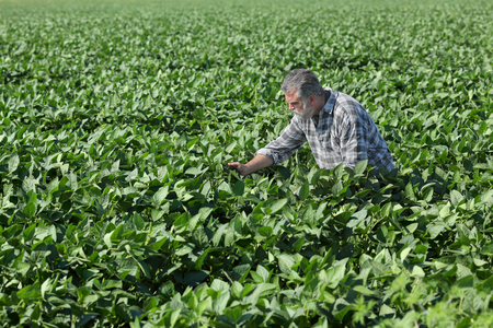 Farmer or agronomist examine soybean plant in field