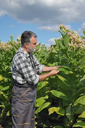 tobacco plant: Farmer or agronomist examine blossoming tobacco plant in field