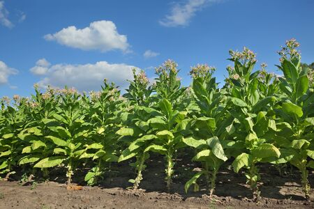 tobacco plants: Blossoming green tobacco plants in field with blue sky and clouds