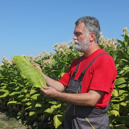 agronomist: Farmer or agronomist in tobacco plant field hold leaf in hands Stock Photo