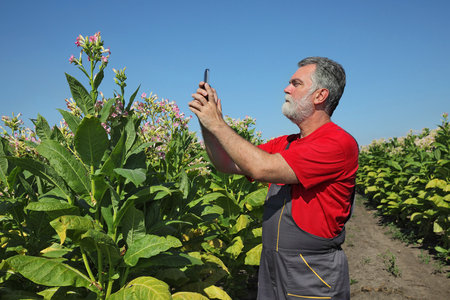 to examine: Farmer or agronomist take photo by phone and examine blossoming tobacco plant in field