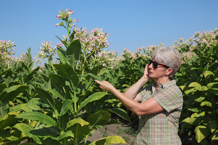 examine: Female farmer or agronomist examine blossoming tobacco plant in field and speaking by mobile phone Stock Photo