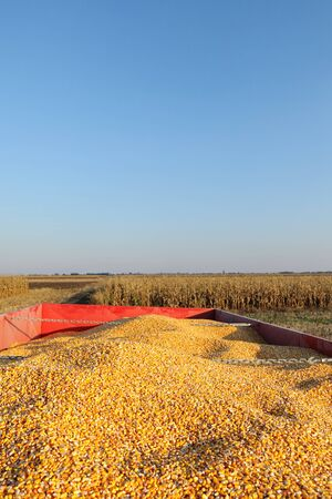crop harvest: Agriculture, corn harvest, heap of crop at trailer in field, selective focus
