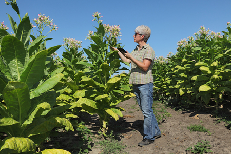 agronomist: Female farmer or agronomist examine tobacco plant  field using tablet Stock Photo