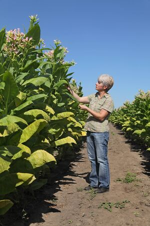 agronomist: Female farmer or agronomist examine blossoming tobacco plant in field Stock Photo