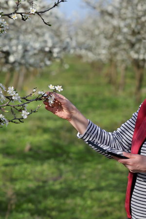 Agronomist or farmer examine blooming plum trees in orchard  using tablet, selective focus Stock Photo