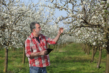 agronomist: Agronomist or farmer examine blooming plum trees in orchard, using tablet