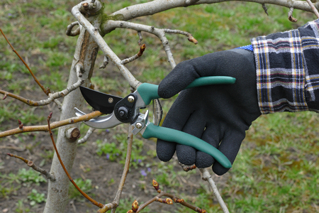 Pruning apple tree in orchard, closeup of hand and tool