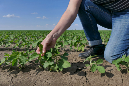 Farmer or agronomist examining soybean plant in field, spring time photo