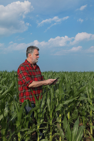 Agronomist or farmer  inspecting quality of green corn plant field using tablet Stock Photo