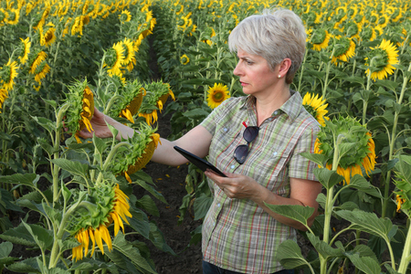 Female farmer or agronomist examining sunflower plant in field using tablet photo