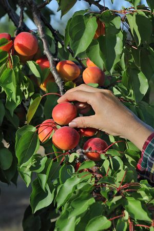 Female farmer hand picking apricot fruit from tree in orchard photo