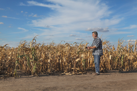 Farmer or agronomist examining corn plants in field after drought using tablet Foto de archivo