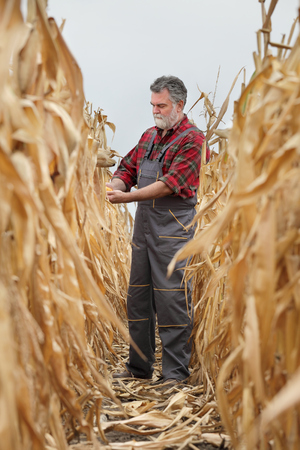 Farmer or agronomist examining corn plant in field, harvest time
