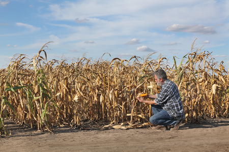 Farmer or agronomist examining corn plant in field after drought, harvest time Foto de archivo