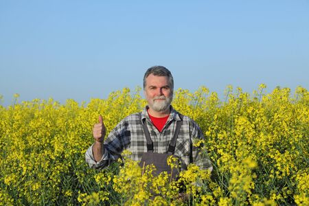 Agronomist or farmer examining blooming canola field and gesturing with thumb up, rapeseed plant in early spring 免版税图像