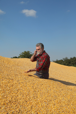 Corn harvest, farmer at heap of crop holding seed in hand and speaking by mobile phone Reklamní fotografie