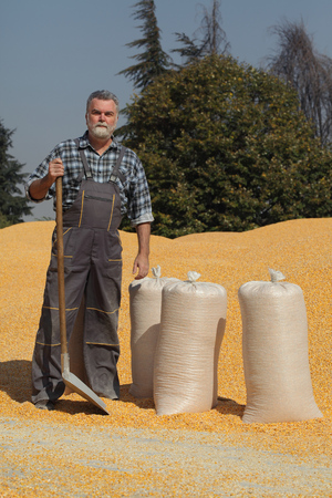 Corn harvest, farmer at heap of crop with shovel in hand and sacks full  of corn Stok Fotoğraf