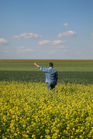 Agronomist or farmer examining blossoming canola and wheat field and gesturing with hand and thumb up, rapeseed plant in early spring