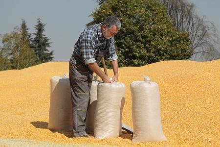Corn harvest, farmer at heap of crop closing sacks with corn crop