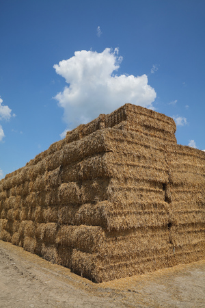 Wheat field after harvest, bale packed straw at big pile with blue sky and clouds