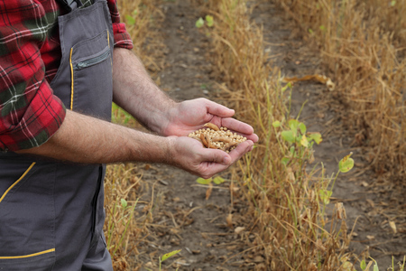 Farmer or agronomist examining soybean plant and crop in field  ready for harvest, holding handful of crop