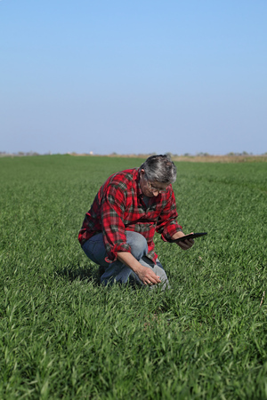 Farmer or agronomist inspect quality of wheat in field using tablet, early spring Stock Photo