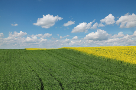 Agriculture, blossoming canola and green cultivated wheat field in spring with blue sky and white clouds 版權商用圖片