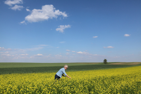 Female agronomist or farmer examining blossoming canola field using tablet, rapeseed plant in spring