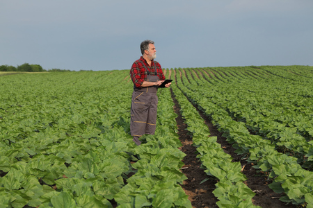 Farmer or agronomist inspecting quality of green sunflower field in spring using tablet Imagens