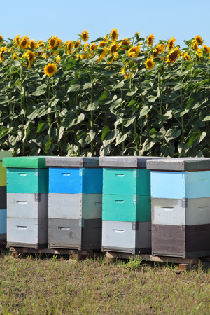 Bee hives in sunflower field, agriculture in early summer