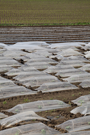 Field of watermelon and melon plants under small protective plastic greenhouses and stripes, agriculture in spring
