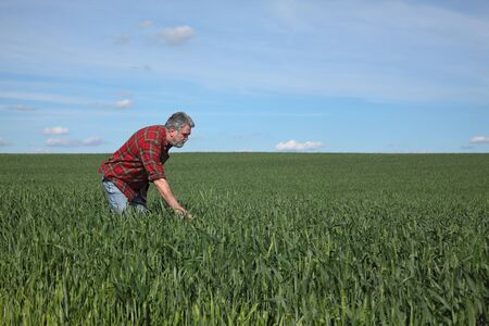Farmer or agronomist inspecting quality of green wheat in spring