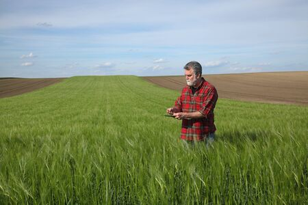Farmer or agronomist inspect quality of green wheat in field using tablet, agriculture in spring time Stock fotó