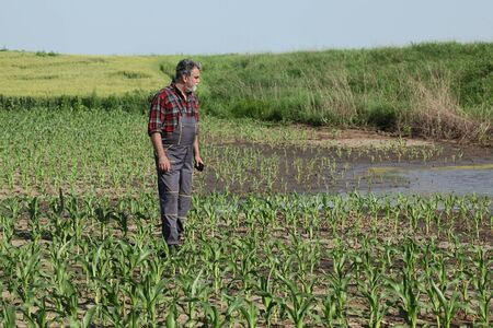 Farmer  inspect young green corn plants in mud and water, damaged  field after flood, agriculture in spring Stock fotó